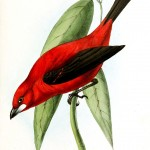 Animal - Bird - Birds of Brazil 4