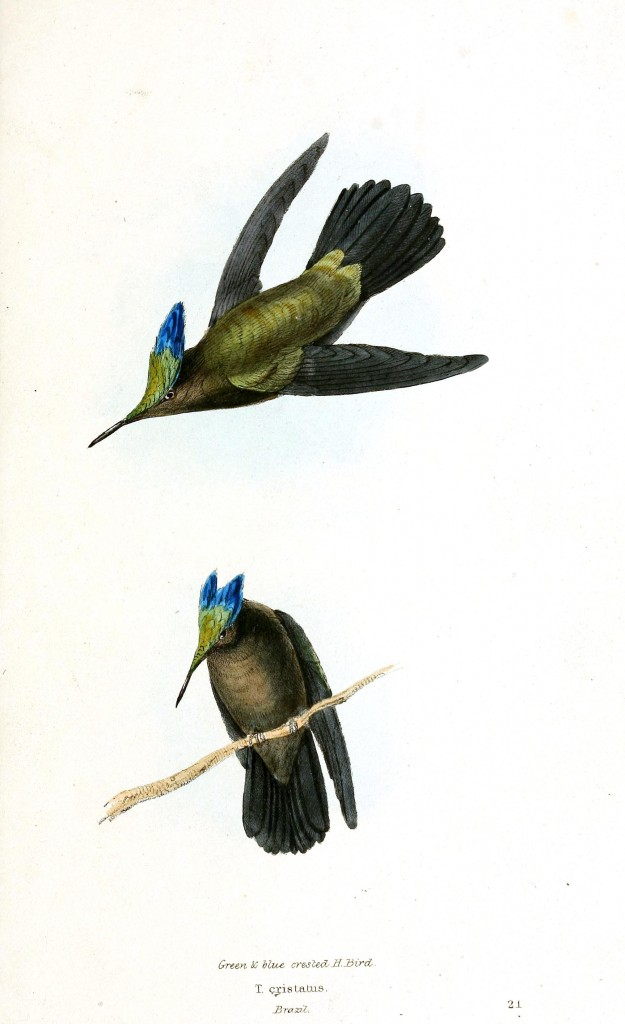 Animal - Bird - Birds of Brazil 5