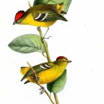 Animal - Bird - Birds of Brazil 7