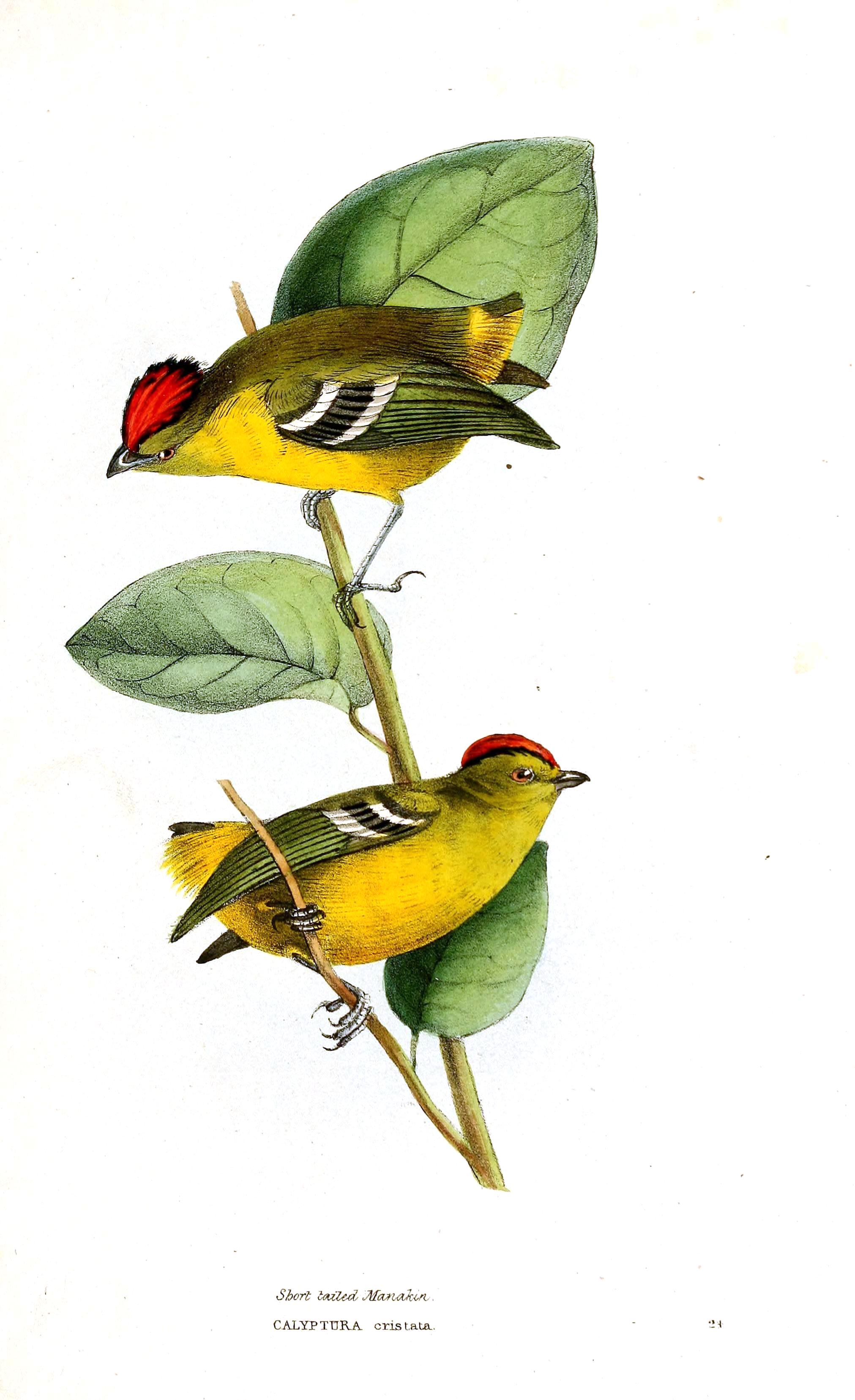 Gallery For gt Vintage Bird Drawing