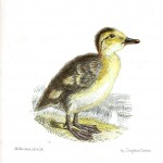 Animal - Bird - Chick, Baby duck 7
