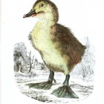 Animal - Bird - Chick, Baby duck 8