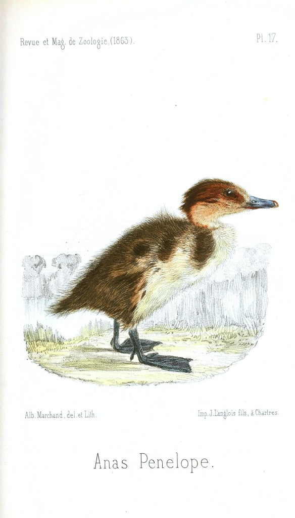 Animal - Bird - Chick, Baby duck 9