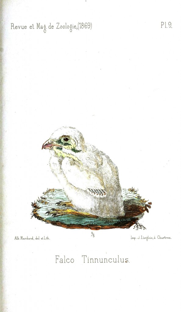 Animal - Bird - Chick, Baby falcon
