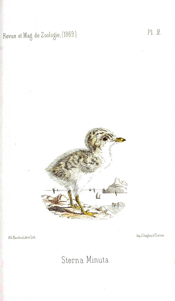Animal - Bird - Chick of some sort 15