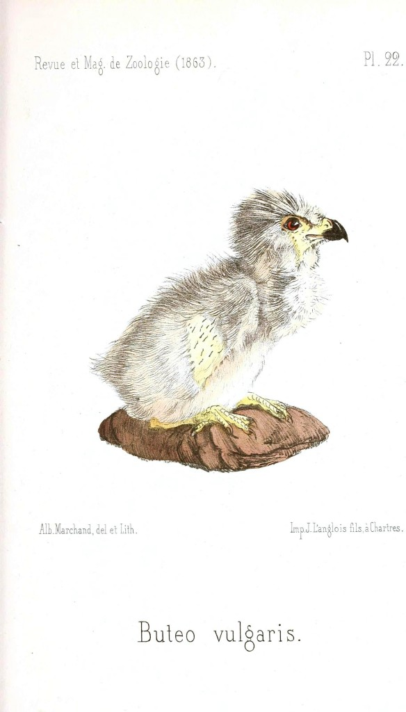 Animal - Bird - Chick of some sort 28