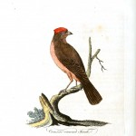Animal - Bird - Crimson crowned finch