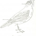 Animal - Bird - Diagram of a bird