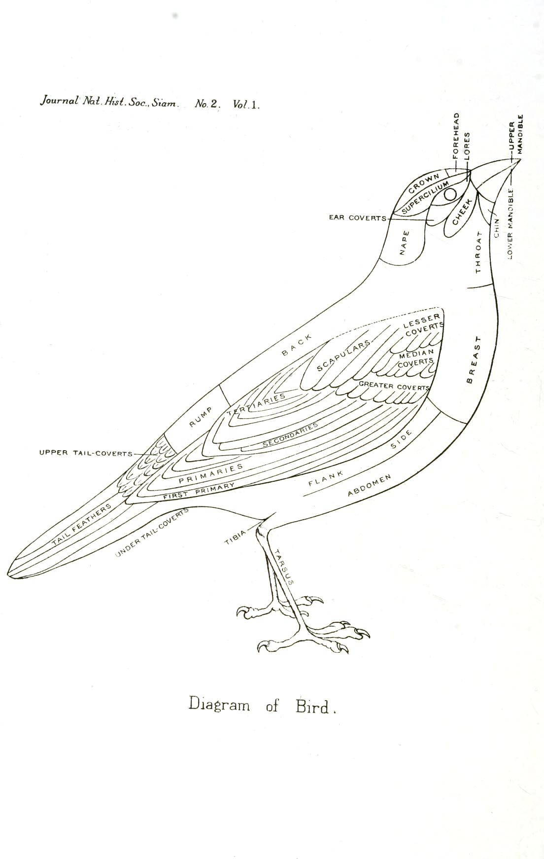 Animal bird diagram of a bird vintage printable at 1104 1742 in animal pooptronica