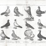Animal - Bird - Educational plate - Pigeons