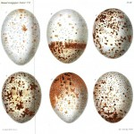 Animal - Bird - Eggs, Vulture - (1)