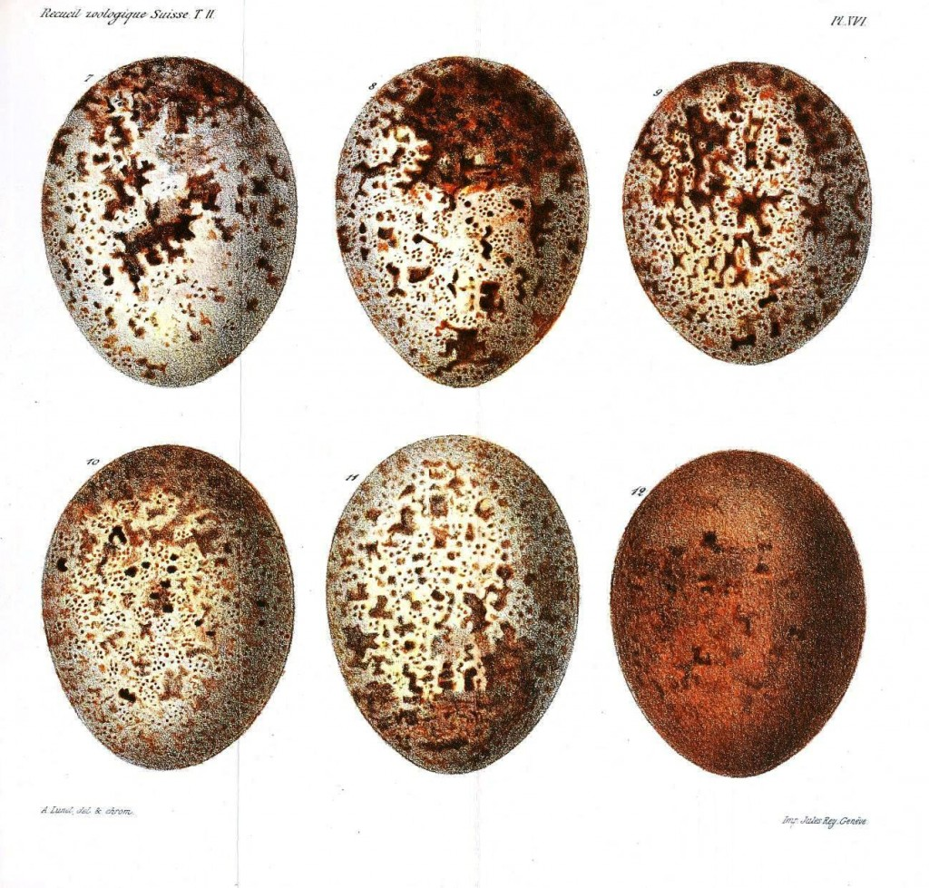 Animal - Bird - Eggs, Vulture - (2)