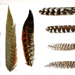 Animal - Bird - Genetics, Feather pattern 12