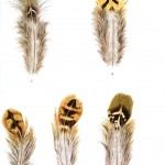 Animal - Bird - Genetics, Feather pattern 4