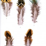 Animal - Bird - Genetics, Feather pattern 6