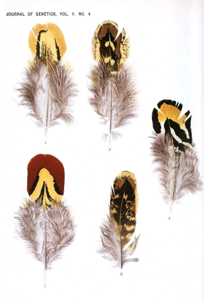 Animal - Bird - Genetics, Feather pattern 7