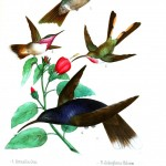 Animal - Bird - Hummingbird, Mexican 1