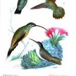 Animal - Bird - Hummingbird, Mexican 10