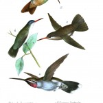 Animal - Bird - Hummingbird, Mexican 11
