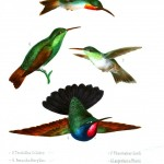 Animal - Bird - Hummingbird, Mexican 2