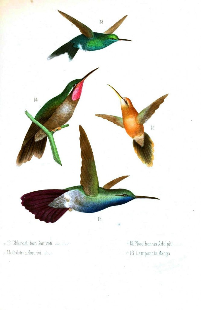 Animal - Bird - Hummingbird, Mexican 4