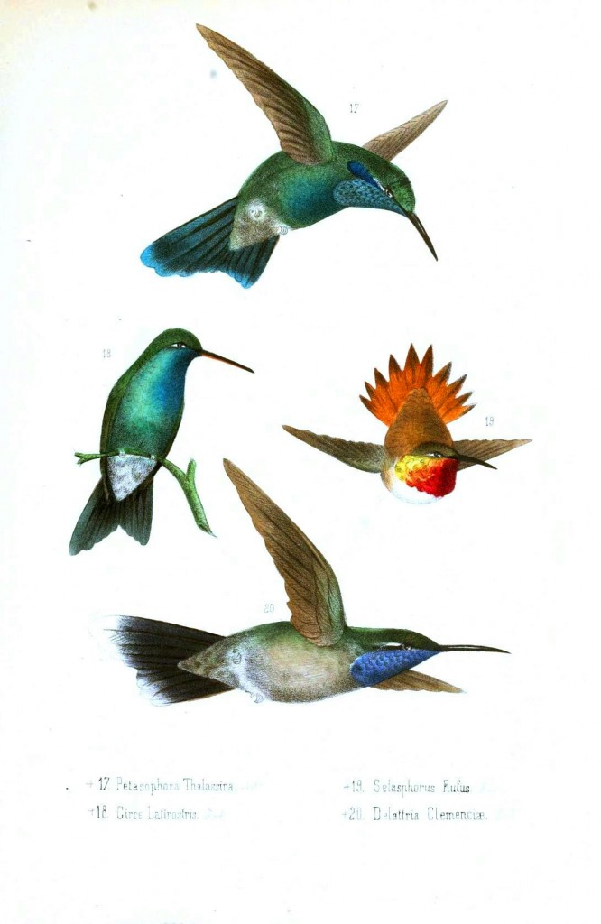 Animal - Bird - Hummingbird, Mexican 5