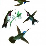 Animal - Bird - Hummingbird, Mexican 7