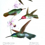 Animal - Bird - Hummingbird, Mexican 8