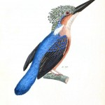 Animal - Bird - Kingfisher, blue