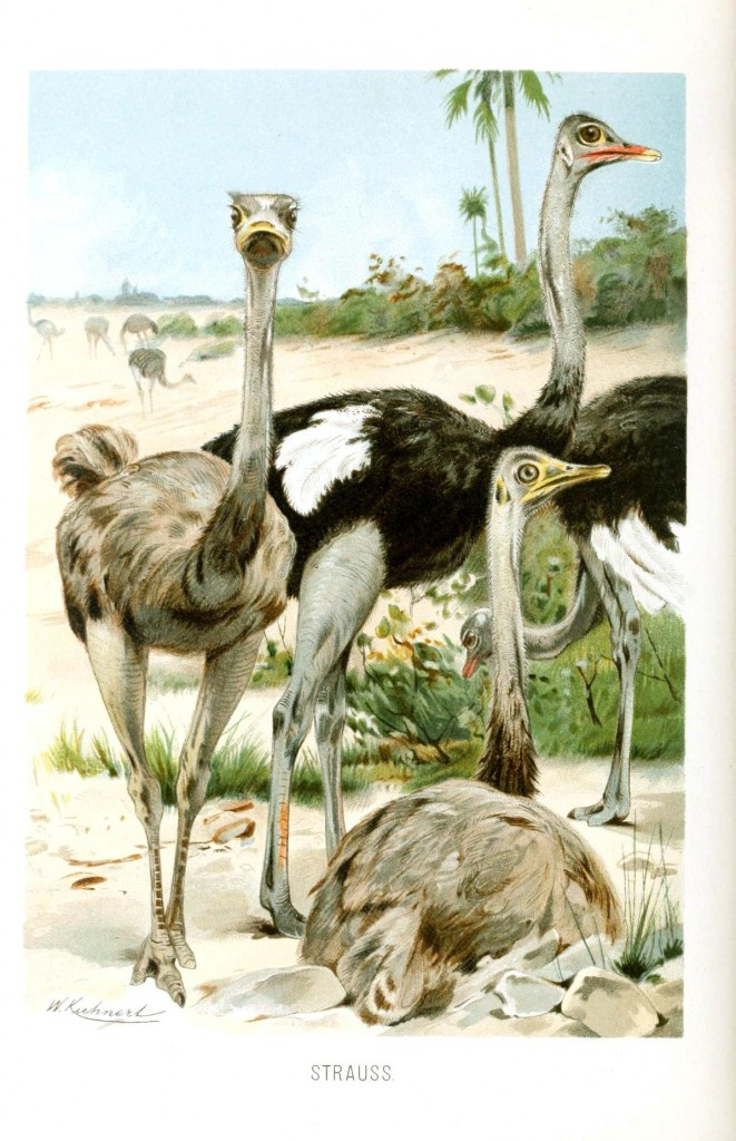 Animal - Bird - Ostriches in landscape