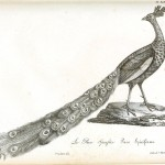 Animal - Bird - Peacock engraving 1834