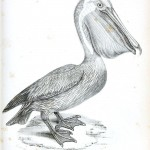 Animal - Bird - Pellican engraving 1834