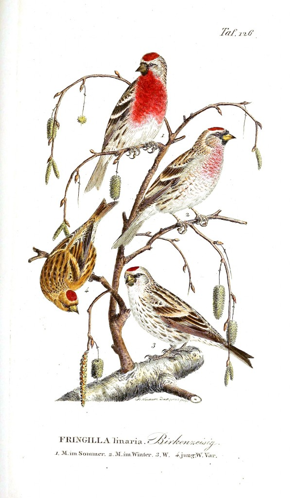 Animal - Bird - Red-capped birds