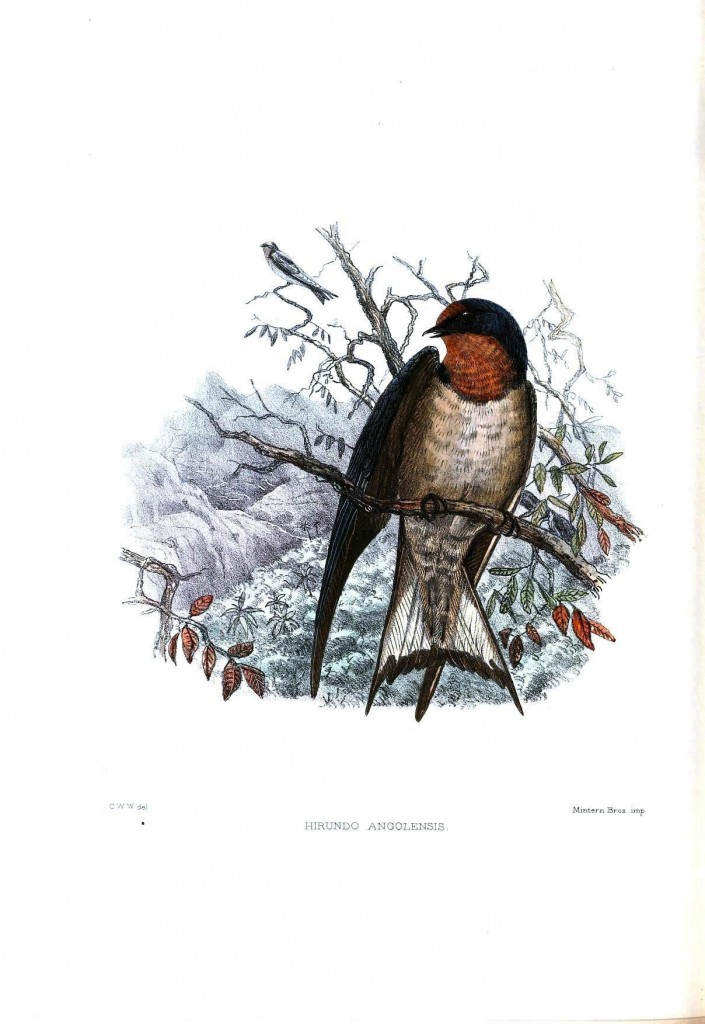 Animal - Bird - Sparrow, Hirundo angolensis