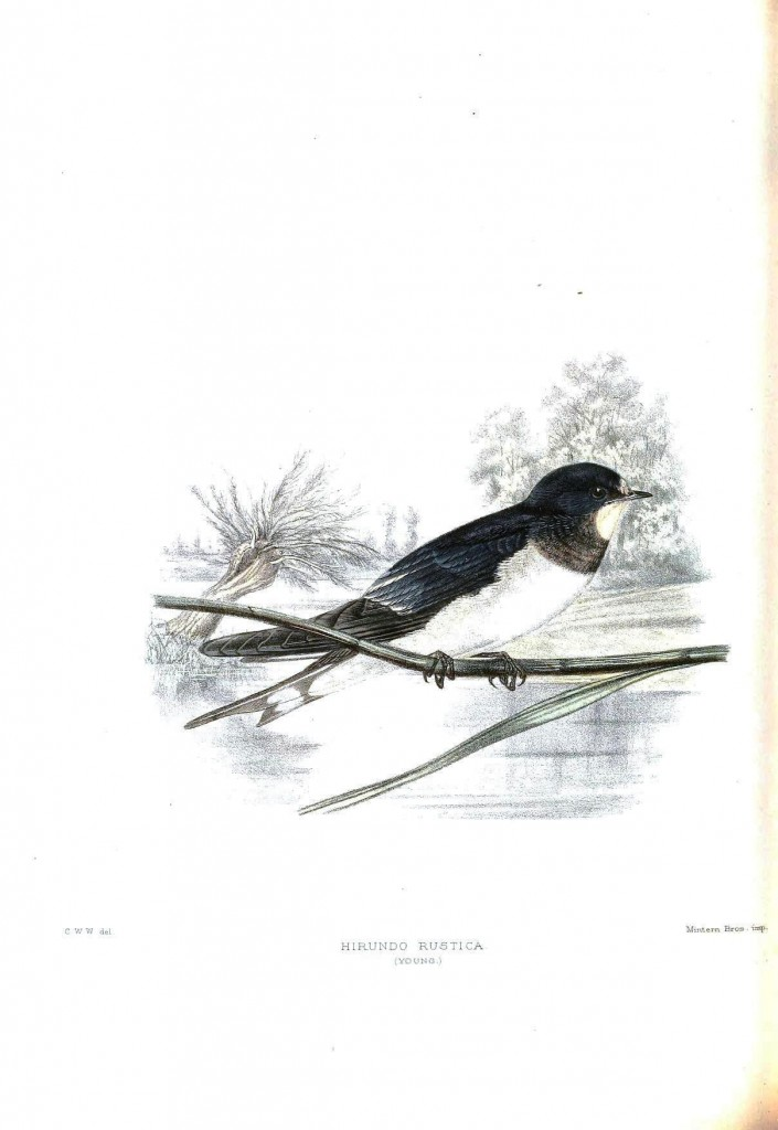 Animal - Bird - Sparrow, Hirundo rustica