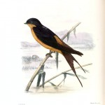 Animal - Bird - Sparrow, Hirundo semirufa