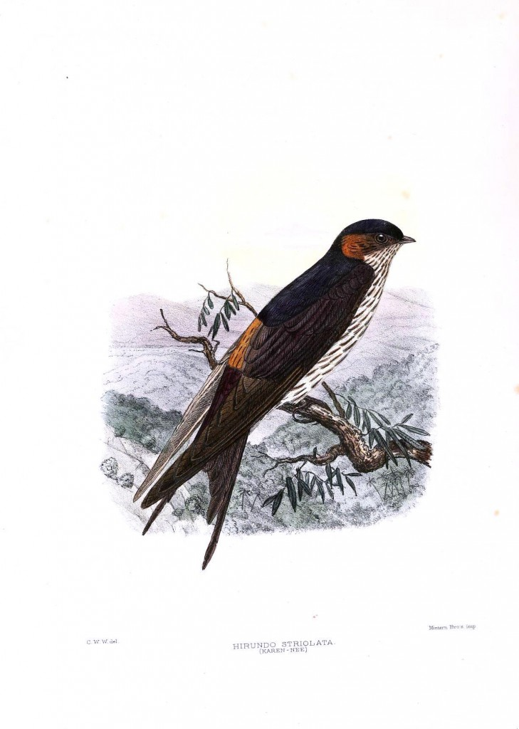 Animal - Bird - Sparrow, Hirundo striolata
