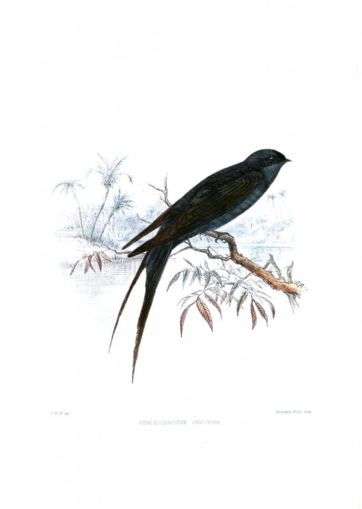 Animal - Bird - Sparrow, Psalidoprocne obscura