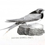 Animal - Bird - Swallow engraving 2