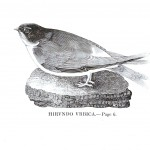 Animal - Bird - Swallow engraving 3