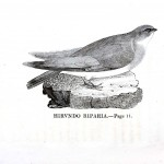 Animal - Bird - Swallow engraving 4