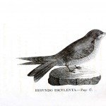 Animal - Bird - Swallow engraving 5
