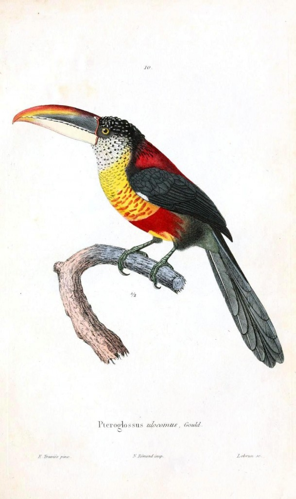 Animal - Bird - Toucan