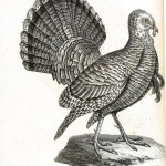 Animal - Bird - Turkey engraving 1834
