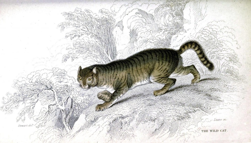 Animal - Cat - British Wildcat