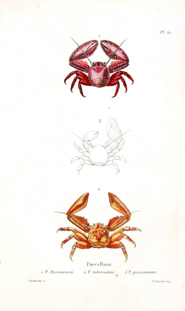 Animal - Crustacean - Crab, stone, red