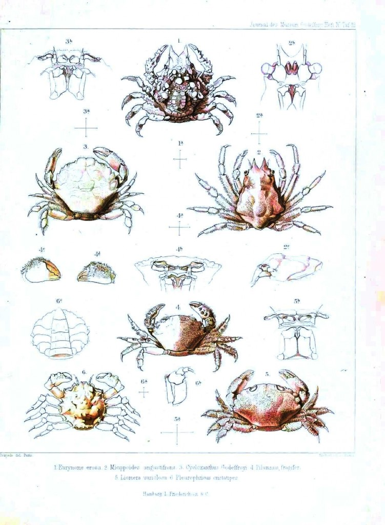 Animal - Crustacean - Crab, various