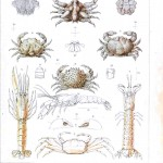 Animal - Crustacean - Crab, various with lobster