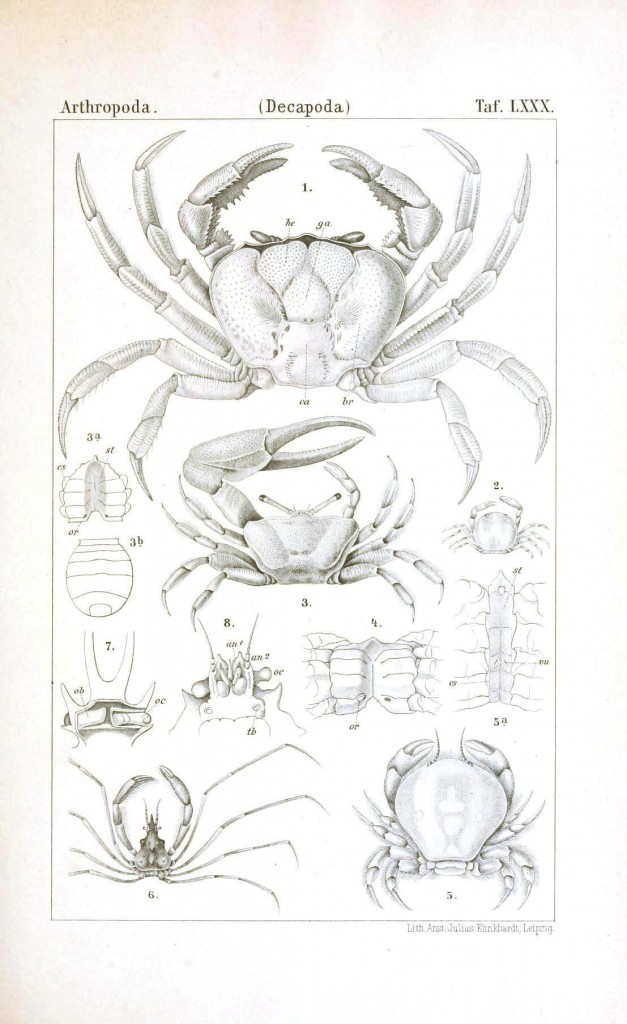 Animal - Crustacean - Educational plate, anatomy 3