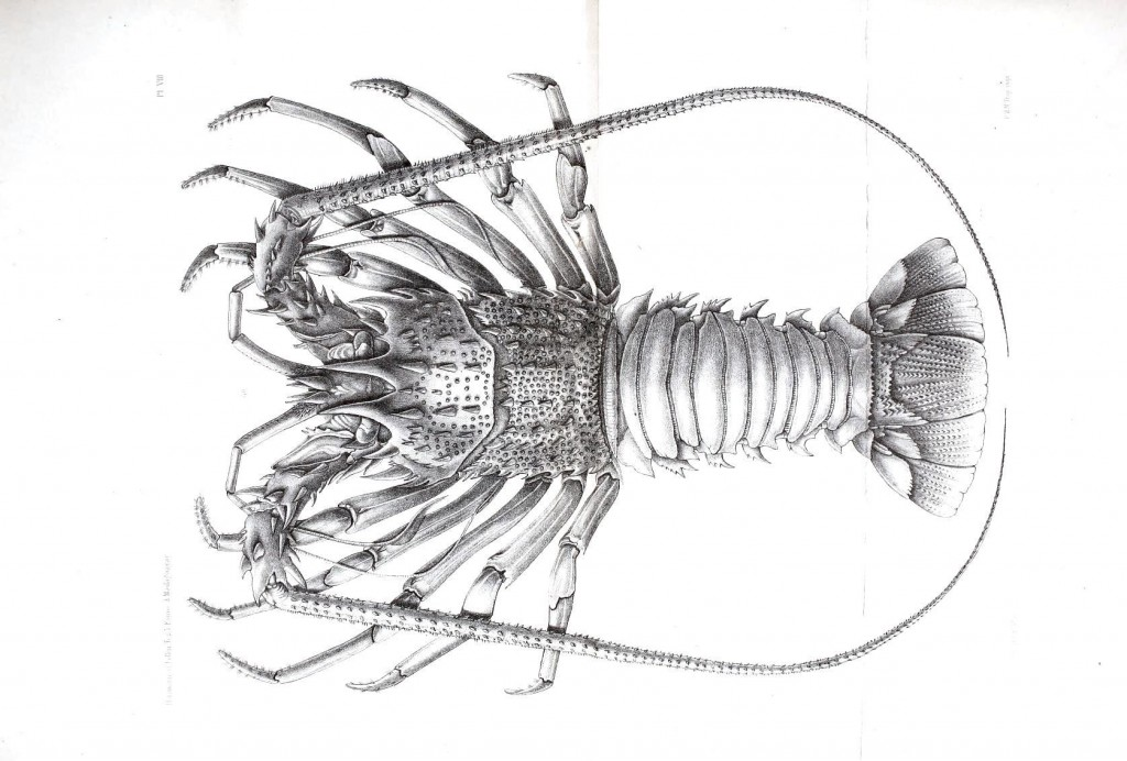 Animal - Crustacean - Lobster, Madagascar